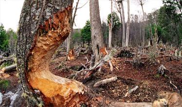 Por los castores desaparecieron 30 mil hectáreas de bosques en la provincia
