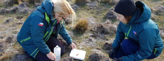 Servicio Agrícola y Ganadero trabaja en determinar la razón de daño en coironales de la Isla Tierra del Fuego: buscan detectar anomalía que afecta a esta especie