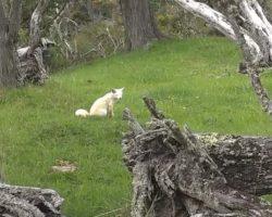 Logran Fotografiar Un Zorro Albino En Tierra Del Fuego
